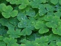 Clover-Green-Leafs-Water-River-214x161